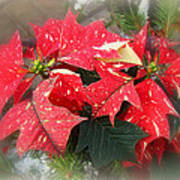 Poinsettia In Red And White Poster