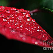 Poinsettia Leaf With Water Droplets Poster
