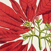 Poinsettia Pulcherrima Poster by WG Smith