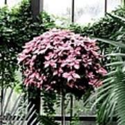 Poinsettia Tree Longwood Gardens Poster