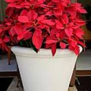 Poinsettias In A Planter Poster
