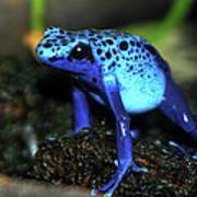 Poison Blue Dart Frog Poster