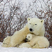 Polar Bear And 3 Month Old Cubs Poster