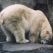 Polar Bear At Zoo Poster