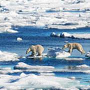 Polar Bear Cubs In Svalbard Poster