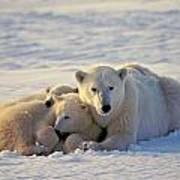 Polar Bear Family Nap Poster