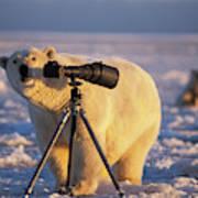 Polar Bear Investigating Photographers Poster