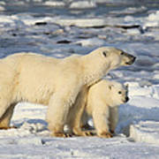 Polar Bear Mother And Cub Poster
