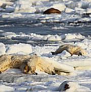 Polar Bear Mother And Cub Grooming Poster