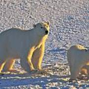Polar Bear Mother And Cub On Ice Poster