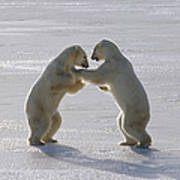 Polar Bear Pair Sparring Churchill Poster