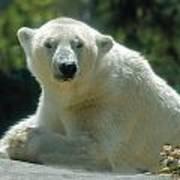 Polar Bear Portrait Poster