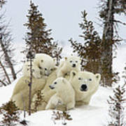 Polar Bear Ursus Maritimus Mother And Cubs Poster