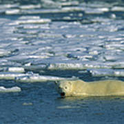Polar Bear Wading Along Ice Floe Poster