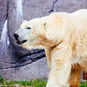 Polar Bear Walking Poster