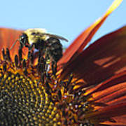 Pollinating Sunflower Seeds Poster