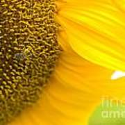Pollination On Sunflower Poster