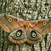 Polyphemus Moth Poster