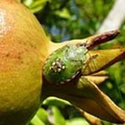 Pomegranate Bug Jewel Case Poster