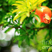 Pomegranate On A Tree Poster
