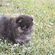 Pomeranian Alert Puppy Poster