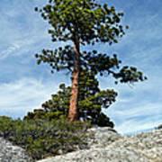 Ponderosa Pine And Granite Boulders Poster