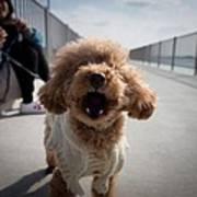 Poodle Dog Poster