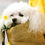 Poodle In Pouch Poster