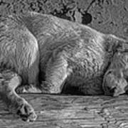 Pooped Puppy Bw Poster
