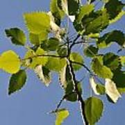Poplar Leaves Poster