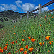 Poppies And The Fence Poster by Kathy Yates