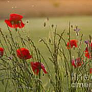 Poppies At Sundown Poster