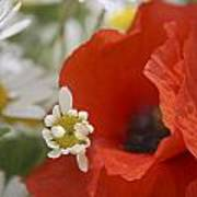 Close Up Of A Poppy With Daisies Poster