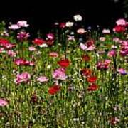 Poppies Gettin Sun Poster