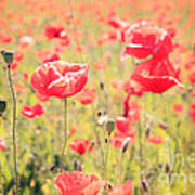 Poppies In Tuscany - Italy Poster