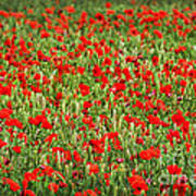 Poppies In Wheat Poster