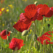 Poppies In Yorkshire Poster