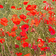 Poppies Vii Poster