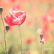Poppy Field In Tuscany - Italy Poster