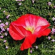 Poppy On Thyme  Poster