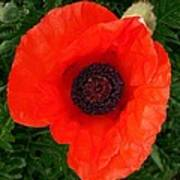 Poppy Of Remembrance  Poster