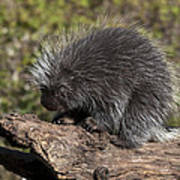 Porcupine Looking For Food Poster