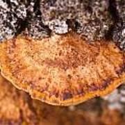 Poria Shelf Fungi 1 Poster