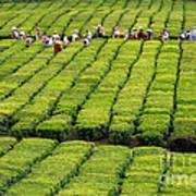 Porto Formoso Tea Gardens Poster