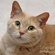 Portrait - Orange Tabby Cat Poster