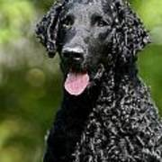 Portrait Black Curly Coated Retriever Dog Poster