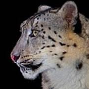 Portrait II Of A Snow Leopard Poster