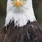 Portrait Of A Bald Eagle In Gaspesie Poster