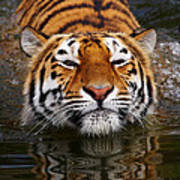 Portrait Of A Bathing Siberian Tiger Poster