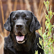 Portrait Of A Black Labrador Retriever Poster
